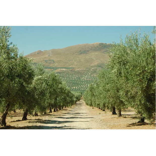 Castillo de Canena Extra Virgin Olive Oil First Day of Harvest Picual 2019